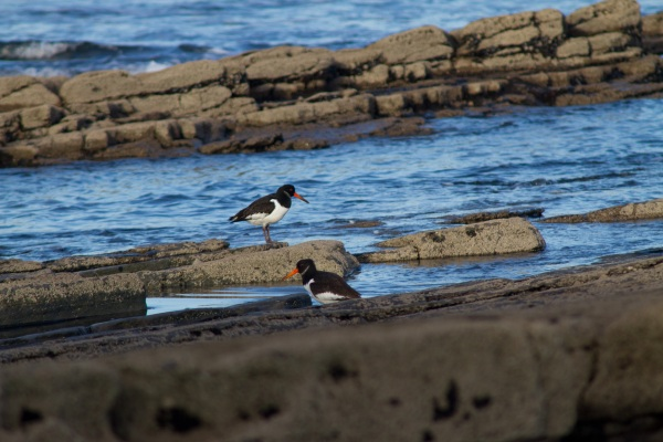Oystercatchers at Streedagh