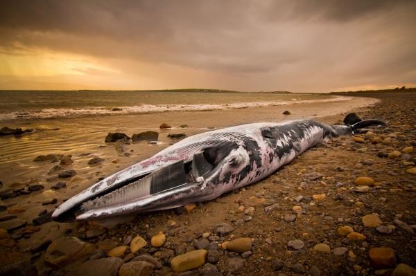 Fin Whale near Raghly, Sligo.